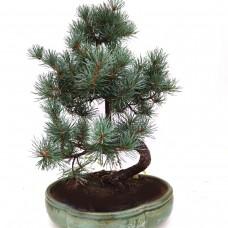 Pinus Bonsai