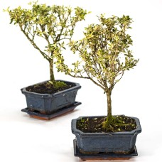 "Serissa""tree of thousand stars""Bonsai"