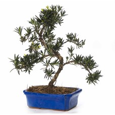 Buddhist Pine Podocarpus Bonsai
