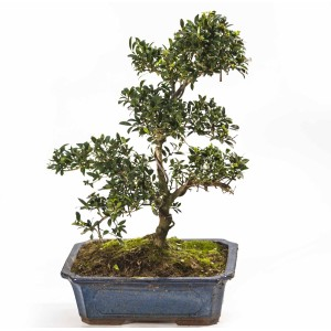 Ilex Bonsai,XL