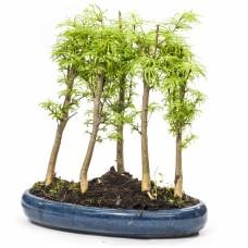 Larix Forest Bonsai
