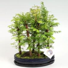 Metasequoia Forest Bonsai