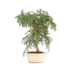 Araucaria Norfolk Pine Bonsai