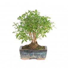 Bonsai Serissa ceramic pot