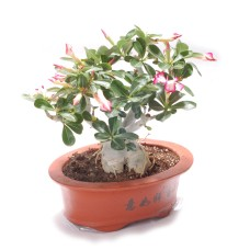 Desert Rose Bonsai