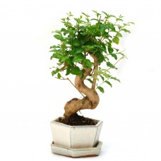 Ligustrum Bonsai in ceramic pot