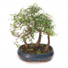 Ulmus Forest Bonsai