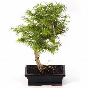 Larix Bonsai