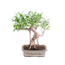Ficus Retussa bonsai