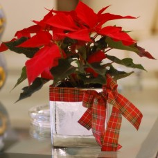 Shinning Poinsettia