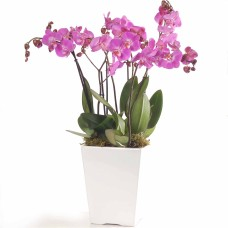 Orchids in white ceramic bowl