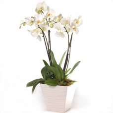 Phalenopsis in Ceramic Vase