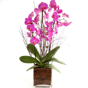 Pink Phalaenopsis orchids in glass vase