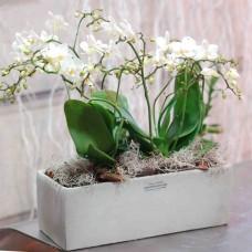 Phalaenopsis orchids garden