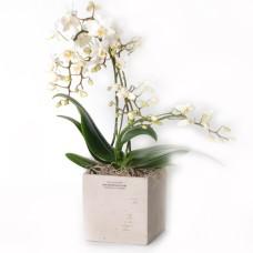 Elegant mini orchid plant