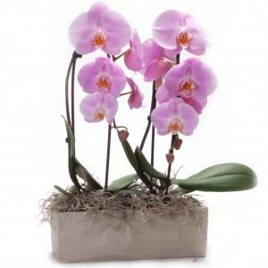Phalenopsis Orchids Garden