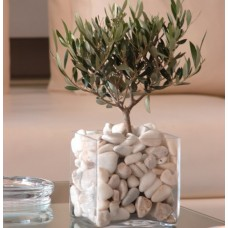 Olive tree in square glass vase