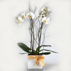 Λευκή ορχιδέα φαλένοψις