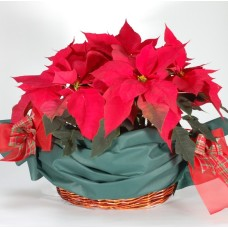 Poinsettia plants arranged in a knitted basket