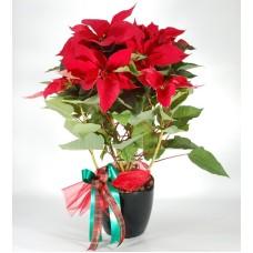 Poinsettia Xmas plant